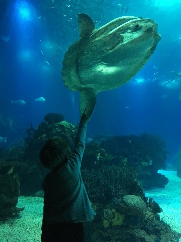 young boy in aquarium pointing at very large fish