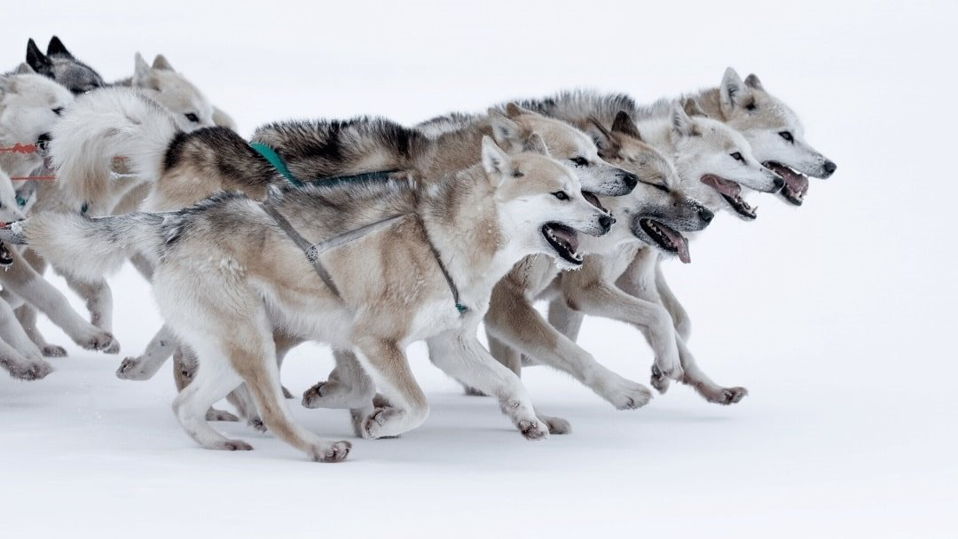 sled dogs in Greenland