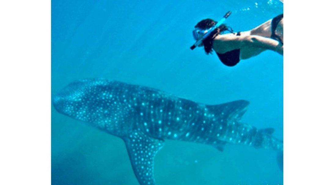 Swimming with whalesharks in Baja