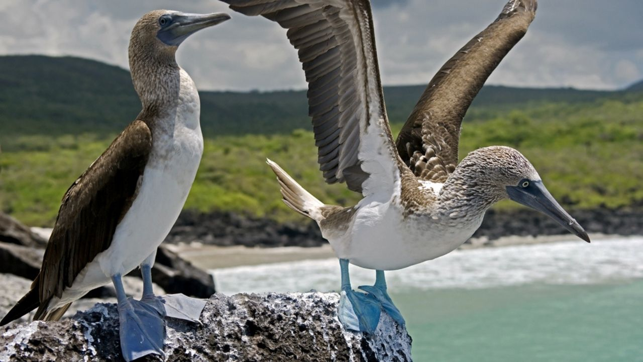 two large birds with blue webbed feet perched on lava rcok