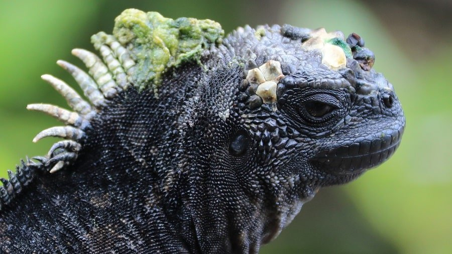 close up of marine iguana face, neck and scales