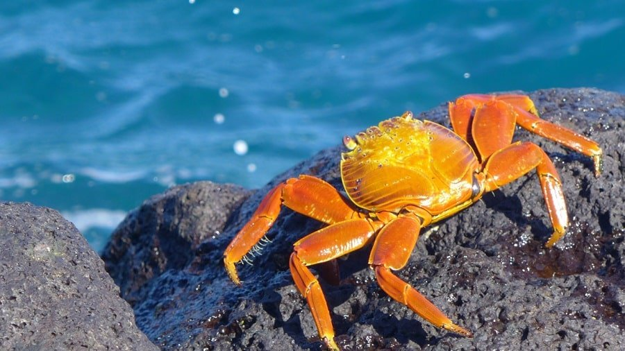 crab with brightly-colored red-orange shell sitting on lava rock near the waterpagos
