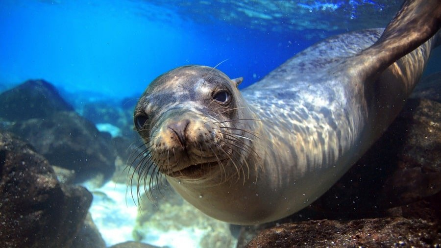 Sea lion underwater looking right at camera