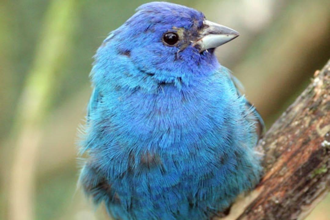 small blue bird