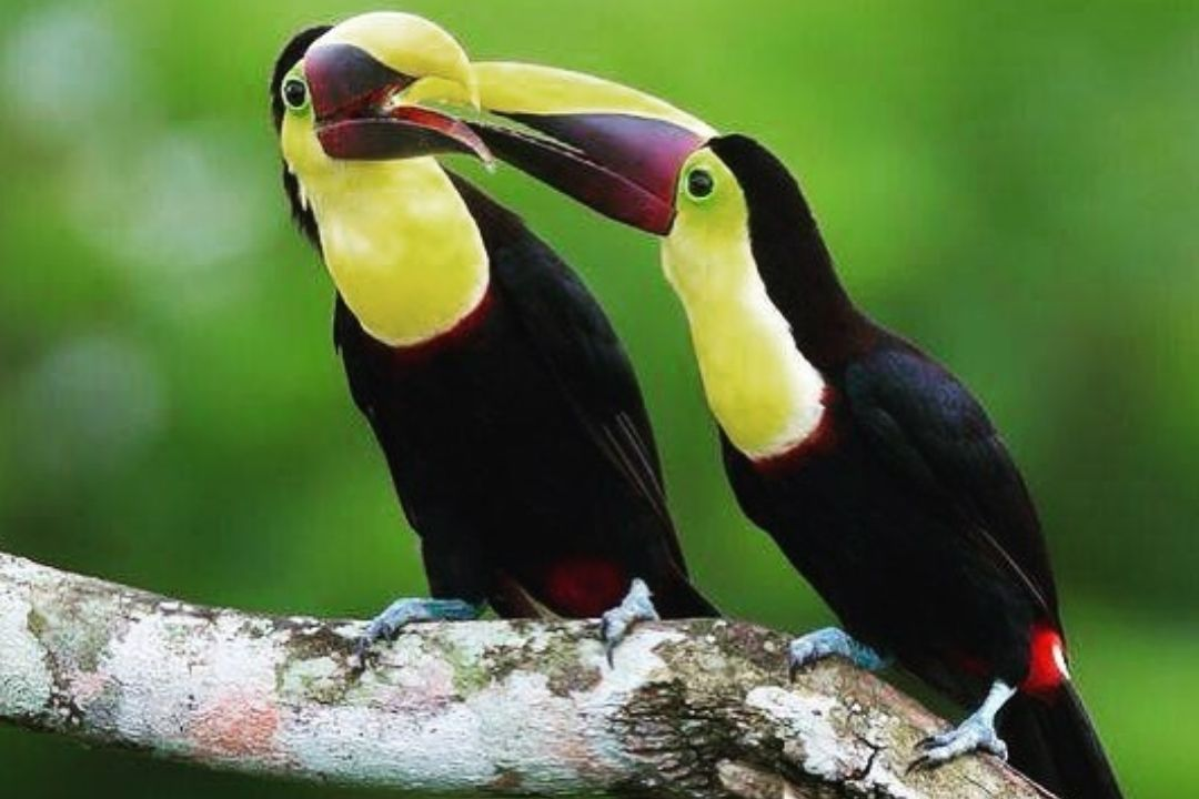 two large yellow and black toucan birds with long yellow and black bills