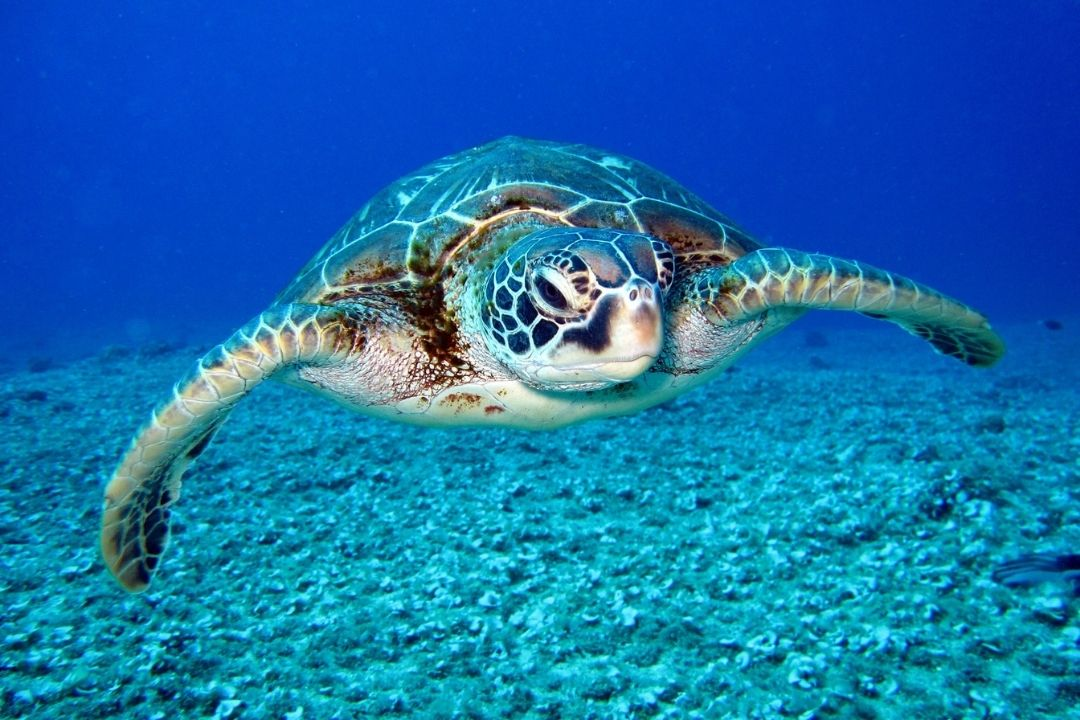 sea turtle in blue water