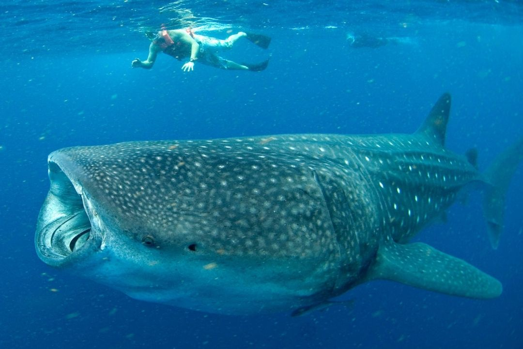 whale shark with snorkeler above