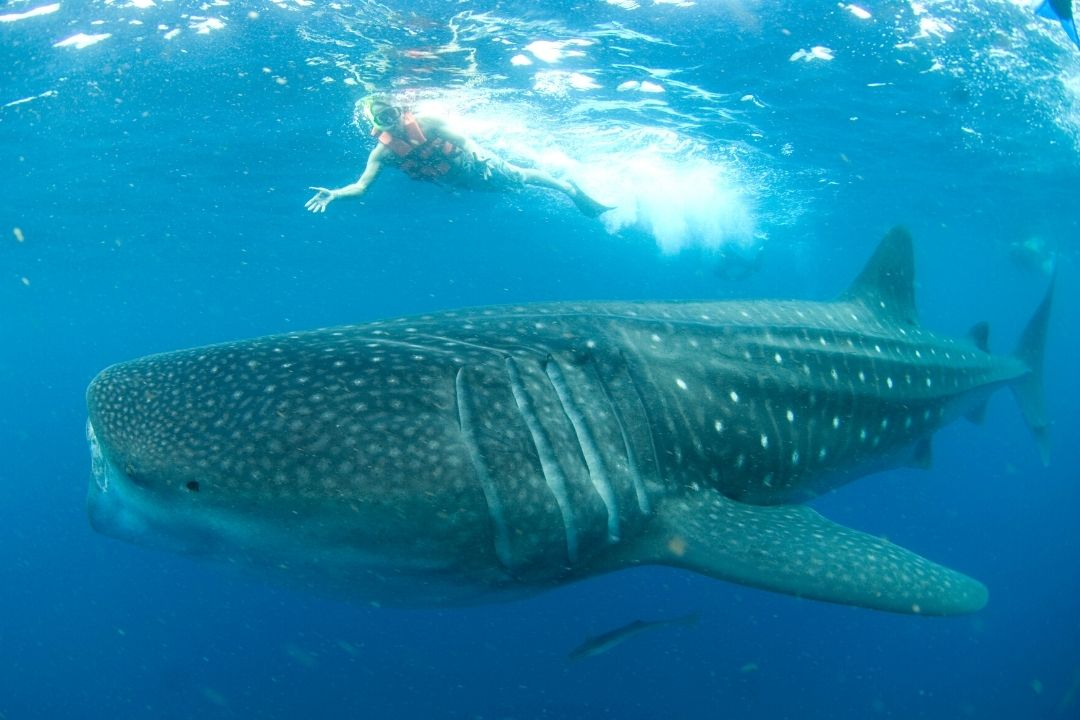 Snorkeler swimming above whale shark