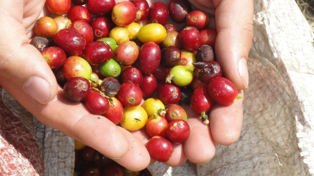 Closeup of two hands holding handful of coffee beans