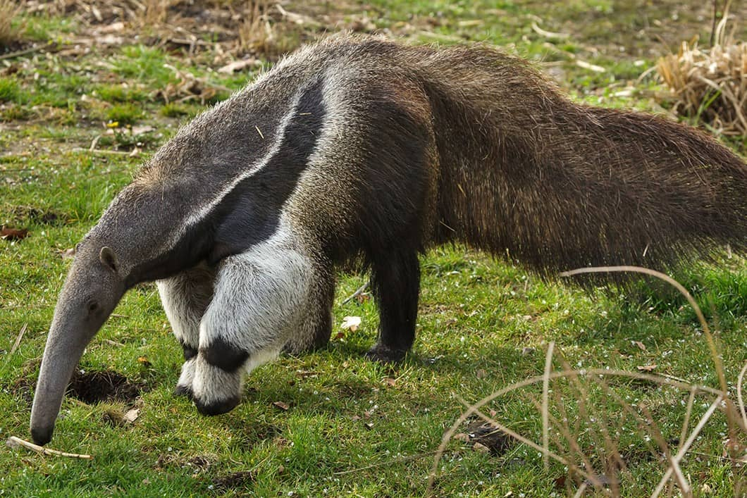 anteater animal with long snout and long bushy tail